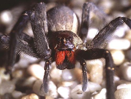brazillian wandering spider masuk kedalam Guinness Book of World Records 2007 untuk laba2 yang paling beracun didunia. dan laba2 ini bertanggung jawab pada kematian banyak orang. laba2 jenis ini memilikki racun syaraf yang paling hebat didunia