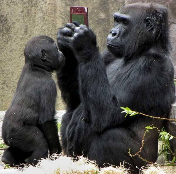 wah, ni gorilla lagi maen apa ya ?