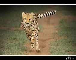 woy cheetah, minum mizone gih biar gak miring(tolong WOW DONG)
