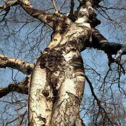 Klik WOW... Coba perhatikan baik-baik!!! pohon ini mirip dengan siapa?? a. Lady Gaga b. Katty Perry c. Selena Gomez d. Cinta Laura
