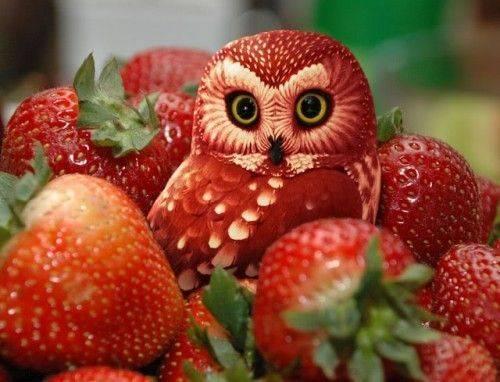 burung hantu merah dia suka menyamar di tempat yg merah dia suka makan buah staubry