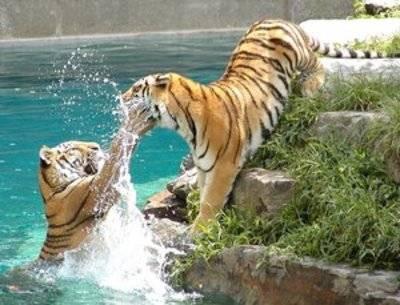 bercanda bukan hanya milik insan manusia Harimau juga suka bergurau,jg lupa wow nya ya