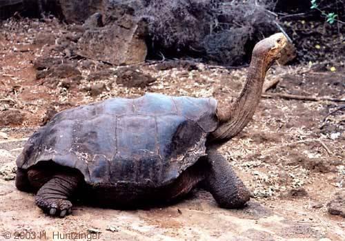 The Pinta Island tortoise Hewan paling langka di dunia. Adanya di kepulauan pinta. termasuk dalam spesies Giant Galapagos Turtoise. Paling langka di dunia soalnya tinggal 1 doang yang masih hidup,dan gak bisa berkembang biak lagi :(