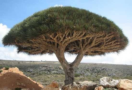 Bentuknya yang indah, menyerupai payung itulah pohon Dragon Blood. Mengapa dinamakan Dragon Blood? Karena ketika kita menusuk batangnya, maka akan keluar getah merah menyerupai darah. Getah itu dimanfaatkan oleh para penduduk Kepulauan Socotra