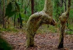 Subhanallah! Ada Pohon Rukuk ke Arah Kiblat di Australia