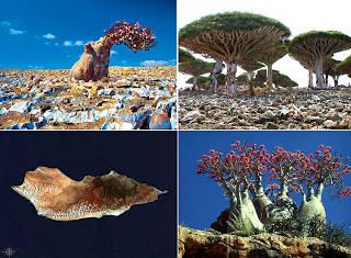 Socotra, Republic of Yemen Socotra tempat paling aneh sekaligus paling unik di dunia. Nyaris semua yang ada di sana terlihat aneh, mulai dari bentuk pohon maupun lingkungannya, tak heran banyak yang menyebut Socotra yang berada di Republik Yeme