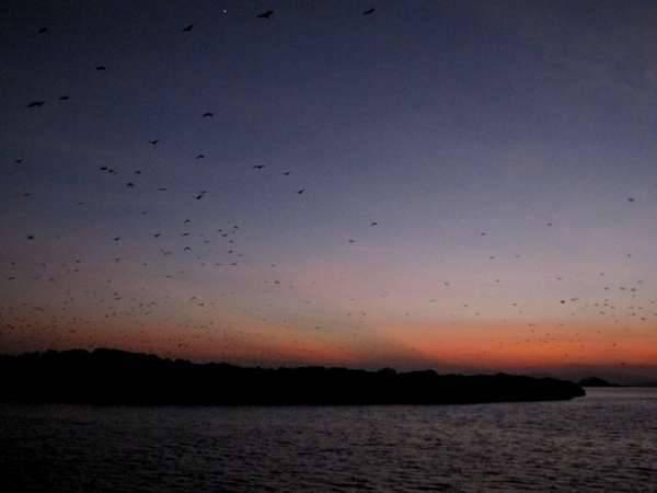 Pulau Kalong, NTT Indonesia. Selain Pulau Rinca dan Pulau Komodo, ada satu lagi pulau di NTT yang dihuni oleh satwa. Terletak sekitar satu jam dari Labuan Bajo, Pulau Kalong menjadi rumah bagi ribuan kalong.