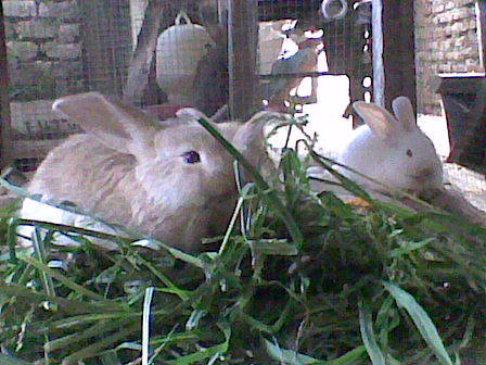ini Kelinci kelincinya om ku, sekarang udah gede banget!