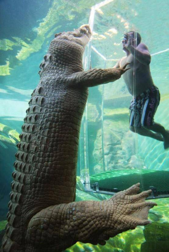 berani nggak coba kayak gini, dimasukan ke dalam aquarium dgn tabung khusus, dimana buaya2 besar menanti.