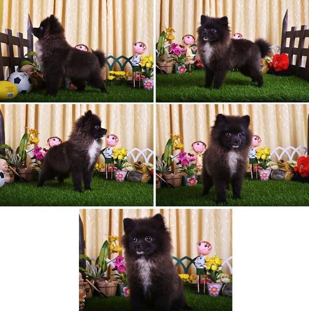 Dijual Anak anjing Pomeranian Jantan, lucu, imut, dan menggemaskan. Siapapun yang mau beli klik WOW nya yaa....