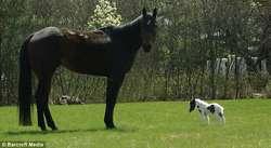 Kuda Terkecil Di Dunia