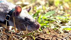 Tikus Super Ini Temukan Ranjau Darat Lewat Penciuman