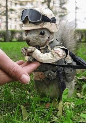 Marinir tupai dari Amerika.