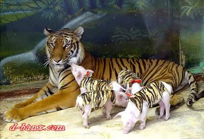 Heboh..!! seekor induk betina harimau menyusui 4 anak babi jangan lupa WOWnya..!