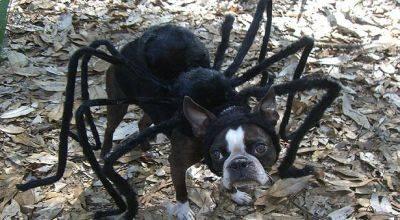Anjing Unik Bergaya Ala Spiderman SAVANNAH – Seekor anjing berkostum aneh menjadi sensasi di dunia maya. Foto-fotonya ketika menggunakan kostum ala Spiderman diposting di internet dan mengundang perhatian. Seperti dilansir The Sun,