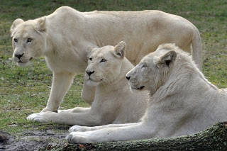 Singa putih ditemukan di suaka margasatwa di Afrika Selatan dan merupakan mutasi warna langka dari subspesies Kruger singa (Panthera leo krugeri). Singa putih bukanlah singa albino. Sebaliknya, warna putih disebabkan oleh gen resesif