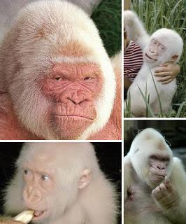 Sebagai satu-satunya gorila albino yang berhasil diselamatkan, Snowflake sudah banyak mempesona para pengunjung kebun binatang selama hampir 40 tahun, sebelum akhirnya meninggal karena kanker kulit pada akhir tahun 2003