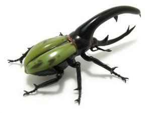 """KUMBANG HERCULES, HEWAN TERKUAT DI DUNIA Kumbang Hercules (Dynastes hercules) atau """"Rhinocheros Beetle"""" merupakan saha satu spesies dari kumbang badak yang paling terkenal dan terbesar. Kumbang Hercules berasal dari hutan hujan Amerika Tengah"""