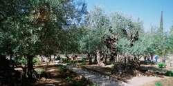 Menyibak Misteri Pohon Zaitun Tempat Yesus Berdoa