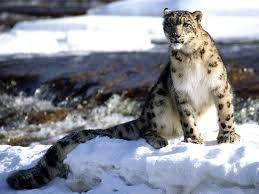 kucing gesit yang dikagumi dan bertindak sebagai maskot untuk beberapa negara dan organisasi. The Snow Leopard adalah simbol nasional untuk Kazakh dan Tatar. Demikian pula, dalam pelukan Ossetia Utara-Alania juga me