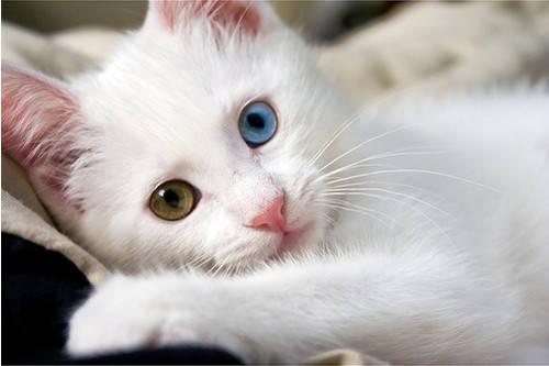 Tau gak sih kucing ini memiliki warna mata yang berbeda !!!