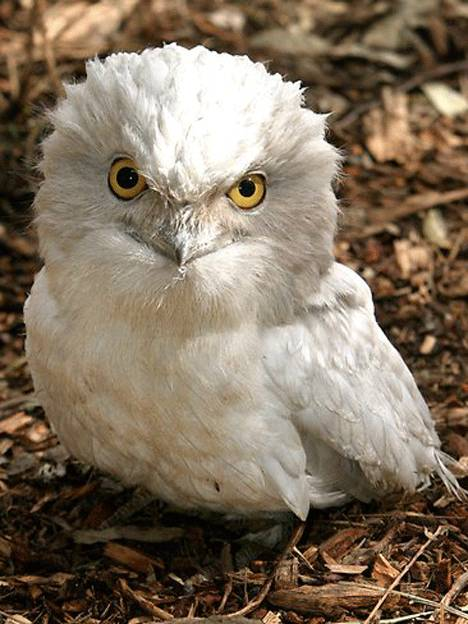 ada yang suka nonton film Harry Potter ? Kalo ada, pasti tau donk ini binatang apa.. yup, betul bgt.. ini adalah Burung Hantu Albino.. Bagus ya..? tapi sayang, keberadaannya mulai langka.. :( hiks.. hiks..