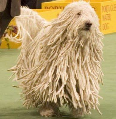 This is a KOMONDOR DOG ! wow !