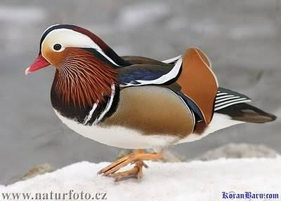 Jenis Hewan ini dapat dilihat di Britania Raya, namun rumah asli di Asia Timur, di Rusia, Cina, Korea. Kepunahan burung indah ini disebabkan terutama penebang kayu, pemburu dan pemburu liar.