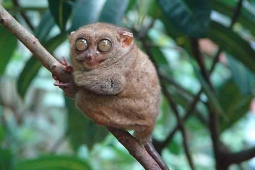 Tarsius (diantaranya Tarsius tarsier dan Tarsius pumilus) adalah binatang unik dan langka. Primata kecil ini sering disebut sebagai monyet terkecil di dunia, meskipun satwa ini bukan monyet. Sedikitnya terdapat 9 jenis Tarsius yang ada di dunia