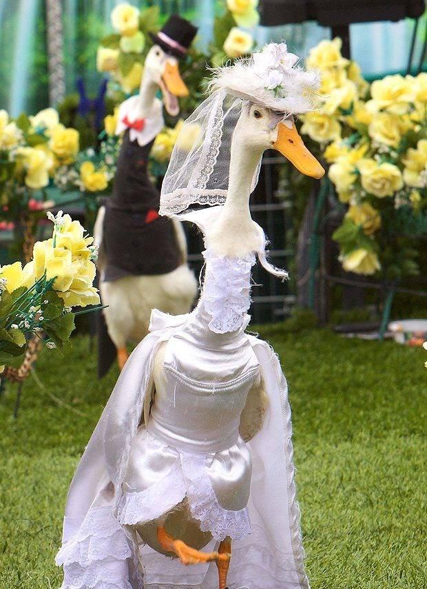 Fashion Bebek di Australia. Ternyata ga cuma manusia aja yg bisa fashion show, bebek pun begitu.. liat aja nih, mereka persis sprti pasangan pengantin ya,, hahah