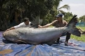 Apakah anda setuju gambar diatas adalah Ikan Lele Terbesar? jgn Klik WOWnya :)