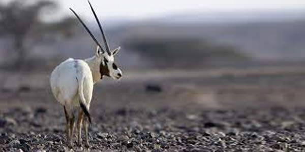 Punah, Unicorn Arab Kembali Hidup Ilmuwan dan ahli konservasi hewan sangat senang mengetahui Unicorn liar Arab kembali dari ambang kepunahan. Sebelumnya, hewan menakjubkan ini diduga punah pada 1972.