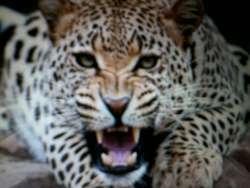 Cheetah termasuk anggota keluarga kucing (felidae) yang hidup di dataran afrika. kece