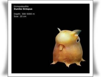 Gurita dari genus Grimpoteuthis ini memiliki telinga yang berbentuk seperti sirip yang menonjol dari bagian atas kepala sehingga bentuknya seperti telinga gajah terbang Walt Disney. Tinggal di habitat yang memiliki kedalaman yang sangat ekstrim