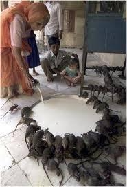 memelihara tikus sebanyak ini,jijik wwooooowww