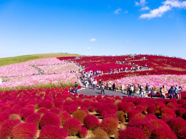 Hitachi-Seaside-Park in Japan