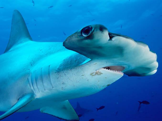 ada yang tau nggak hiu jenis apakah ini ??? Yap ini adalah Hiu Palu ,, WOW nya mana???