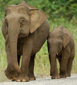 Ssst,Gajah Tak Bisa Lompat Gajah tdk bisa lompat karena struktur tulang dikakinya tak memungkinkan untuk melakukan gerakan melompat.Telapak kaki dan pergelangan kaki gajah tdk memiliki kelenturan.Tdk seperti kaki mamalia lain yg bisa melompat