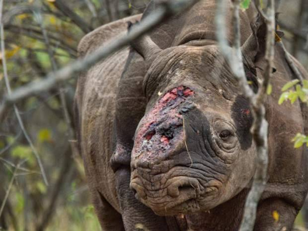 Prihatin !!! info Cula badak yang harganya setara emas di pasar gelap menjadi pusat perang berdarah perburuan liar. Stop perburuan liar ! Share foto ini sebagai bentuk Prihatin kita untuk hewan malang ini !!!