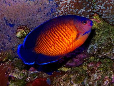 Coral Beauty ikan tercantik di dunia Ikan ini tidak sulit di pelihara dan dapat hidup dengan baik di habitanya.