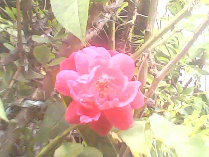 mawar bisadi artikan dengan = a.cinta kepada kekasih yang dicintai b.cinta kepada seorang teman sejati
