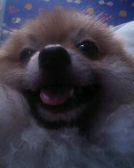 kalo kata kamu anjing yang gendut ini lucu klik wow ya !!! karena ini adalah anjing ku osso