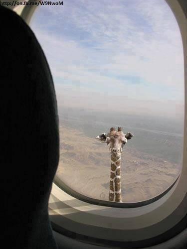 wow bgt,, kepala si jerapah bsa nyampe pesawat, berarti tinggi bgt lehernya... :D wkwkwkkwk...