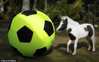 kuda ini mempunyai berat badan 2,8 kilogram telah lahir pada hari Jumat, di Amerika Serikat.Sebuah kuda kecil telah lahir dengan mempunyai tinggi 35,5 cm. Ukuran mini dari kuda ini telah memecahkan rekor sebagai anak kuda terkecil di dunia