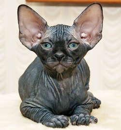 Don Sphynx, Kucing Paling Menakutkan di Dunia