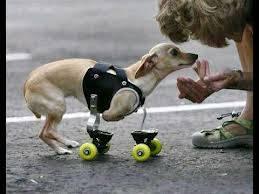 WOWnya jangan lupa yah kk :D Anjing kecil ini yang belum jelas namanya ... mencoba bermain dengan majikannya dengan semangat , walau tanpa kedua kaki depan untuk menahan badannya ia terlihat senang dengan alat barunya itu .. sungguh terharu :D