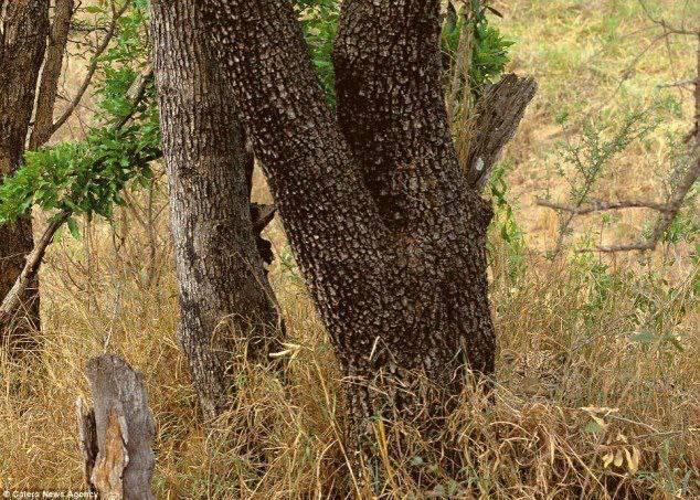 Waktunya kuis.. Siapa yang bisa cari Leopard pada gambar diatas ?