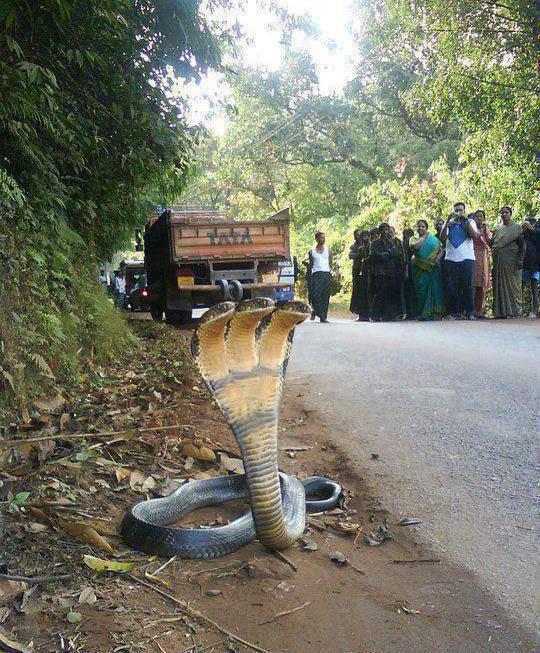 Kemarin pas pulang kampung ke India, di jalan liat ular cobra lucu banget, kepalanya ada tiga. Ihh gemes...