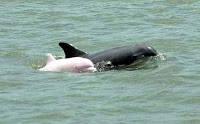 Dolphin Merah muda Menurut ahli biologi laut Dagmar Fertl,kejadian ini melaporkan penampakan dari lumba-lumba albino botol di Teluk Meksiko dan hanya empat belas kali pernah terlihat di dunia.