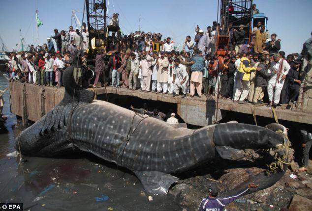 Ikan Lele ini di temukan di Kota Karachi, Pakistan. Ikan Lele in Berat nya sekitar 8 ton . jangan lupa WOW nya :)